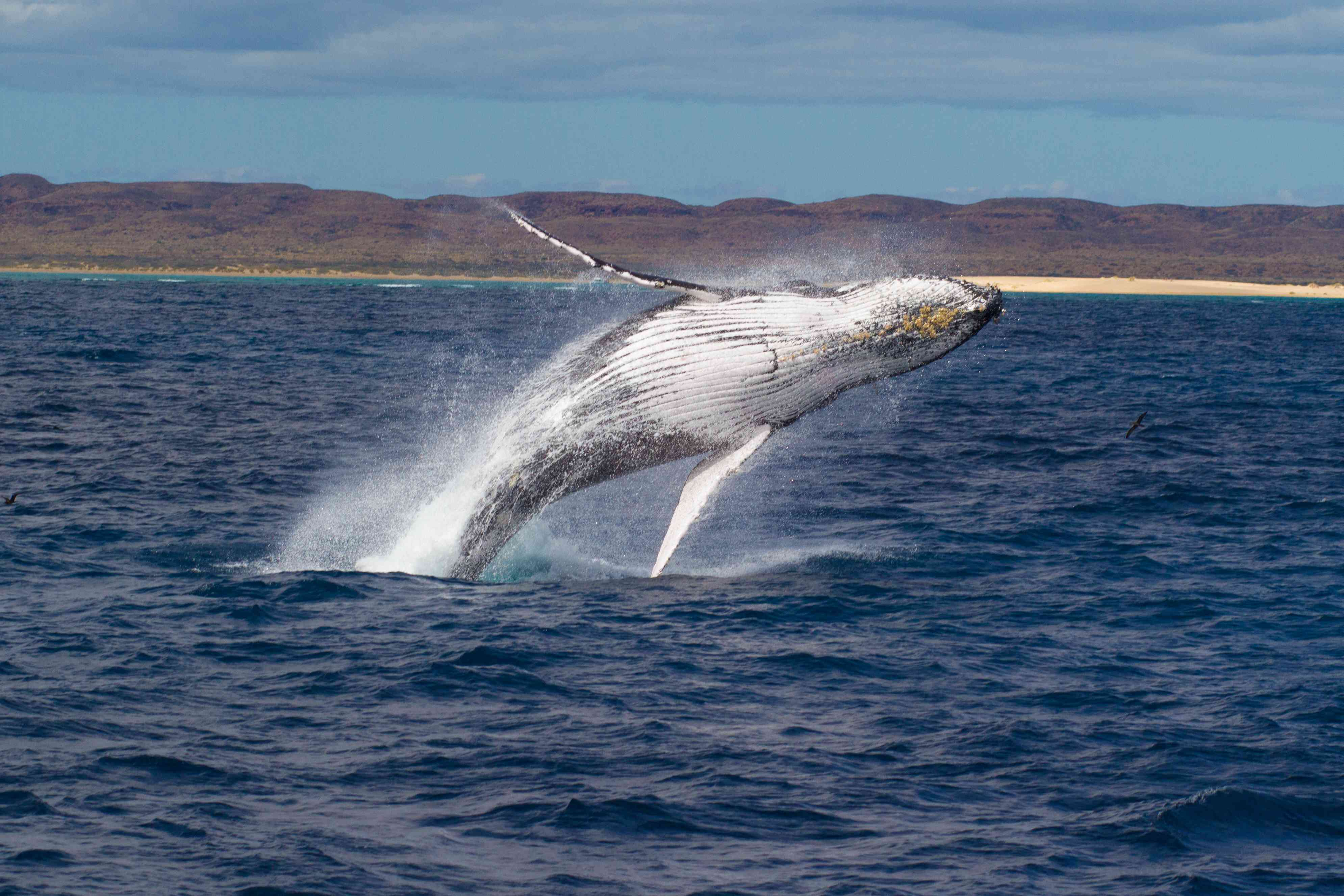 Humpback Whale breaching powerfully with West Australian coastline in the background