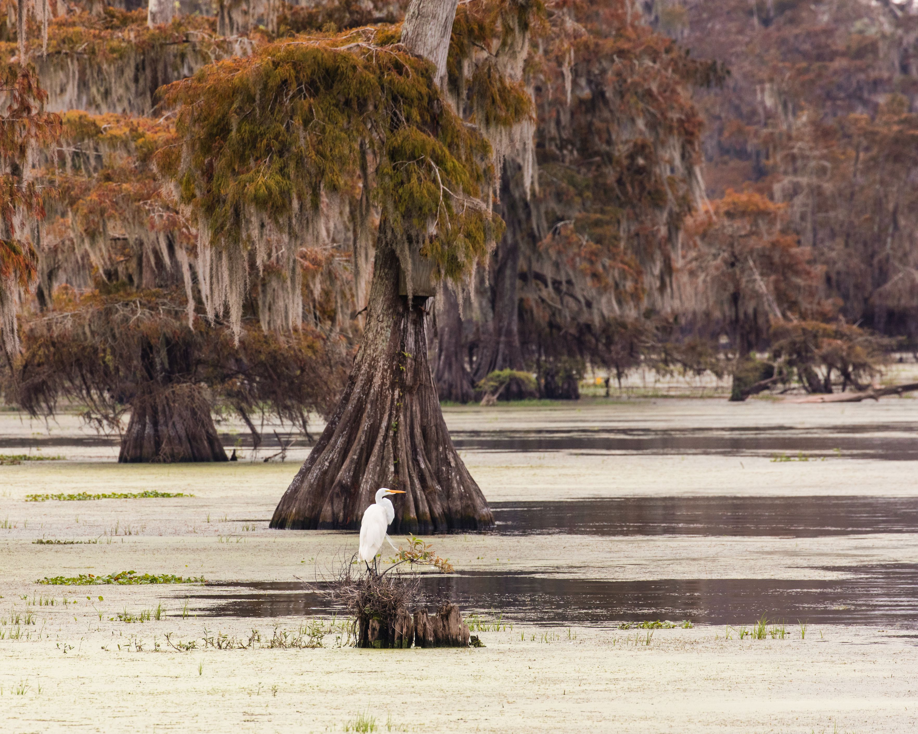 Great Egret with large cypress trees at Lake Martin, Louisiana
