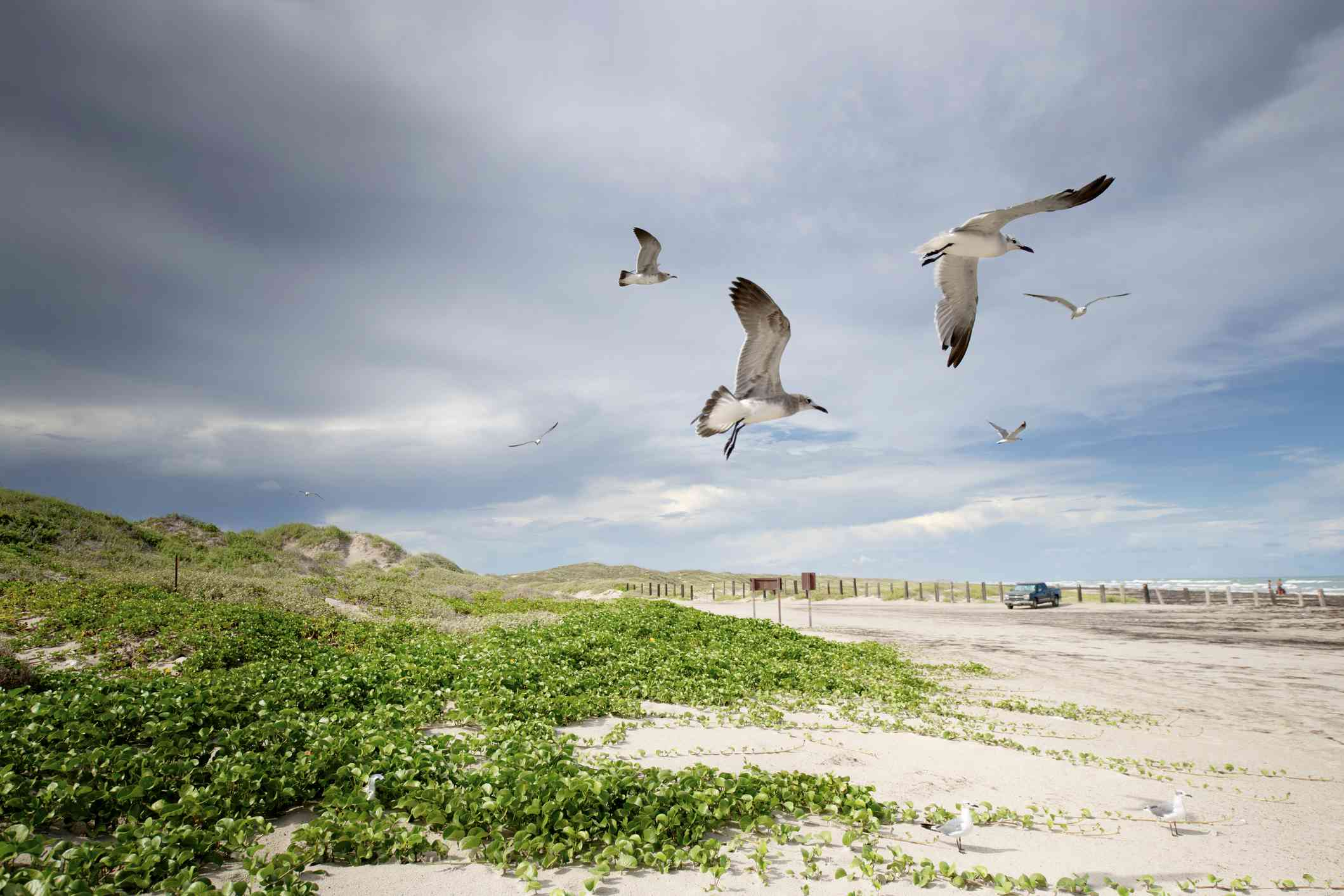 Seagulls in flight at North Padre Island, Texas.