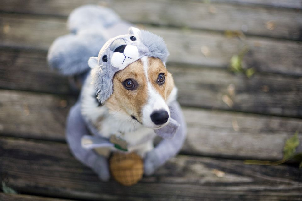 Dog in squirrel costume on Halloween.
