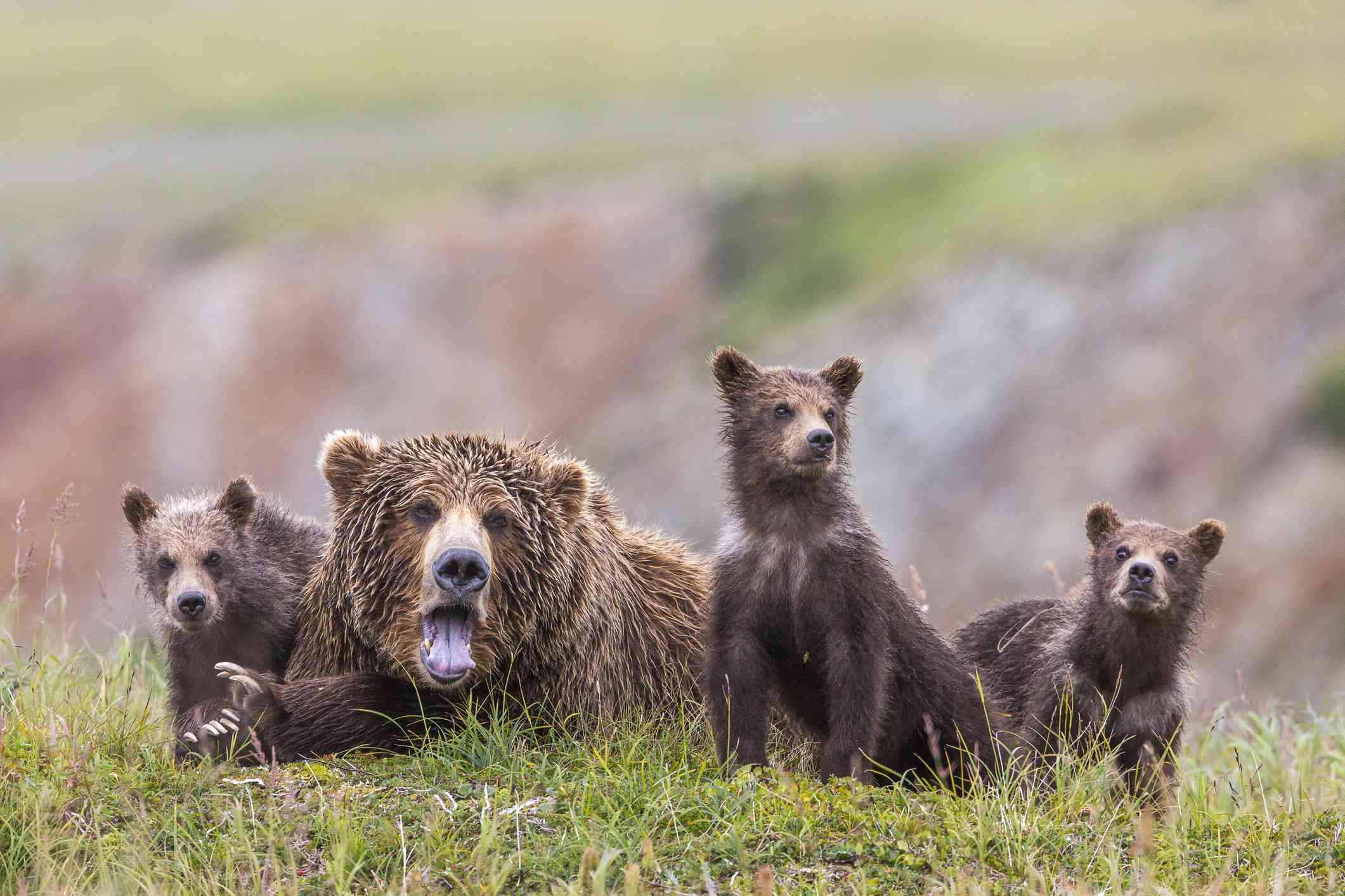 Family of bears in Katmai National Park