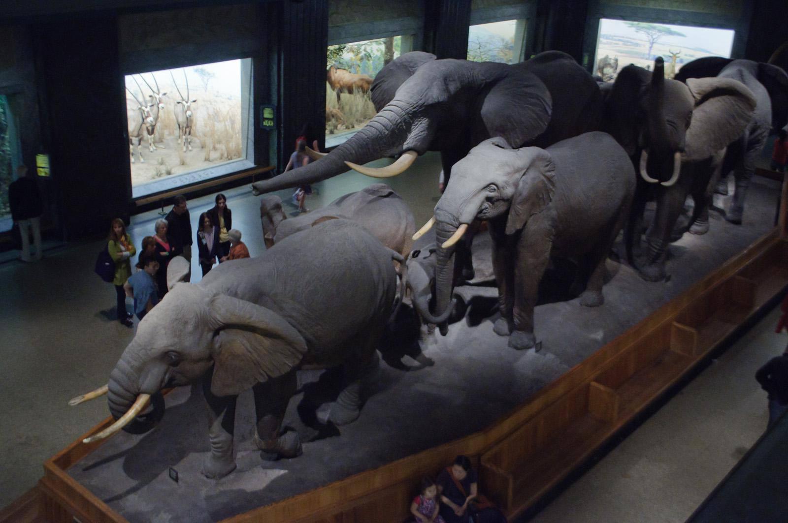 African Hall, Museo Americano de Historia Natural La pieza central del African Hall es este diorama de una manada de elefantes