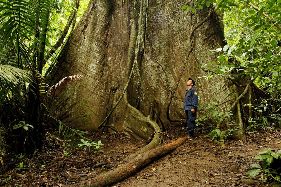 Aerial tree roots belonging to gigantic tree.