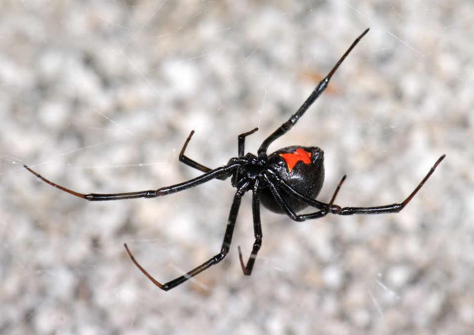 Latrodectus hesperus (black widow spider) in web at night, desert wash habitat