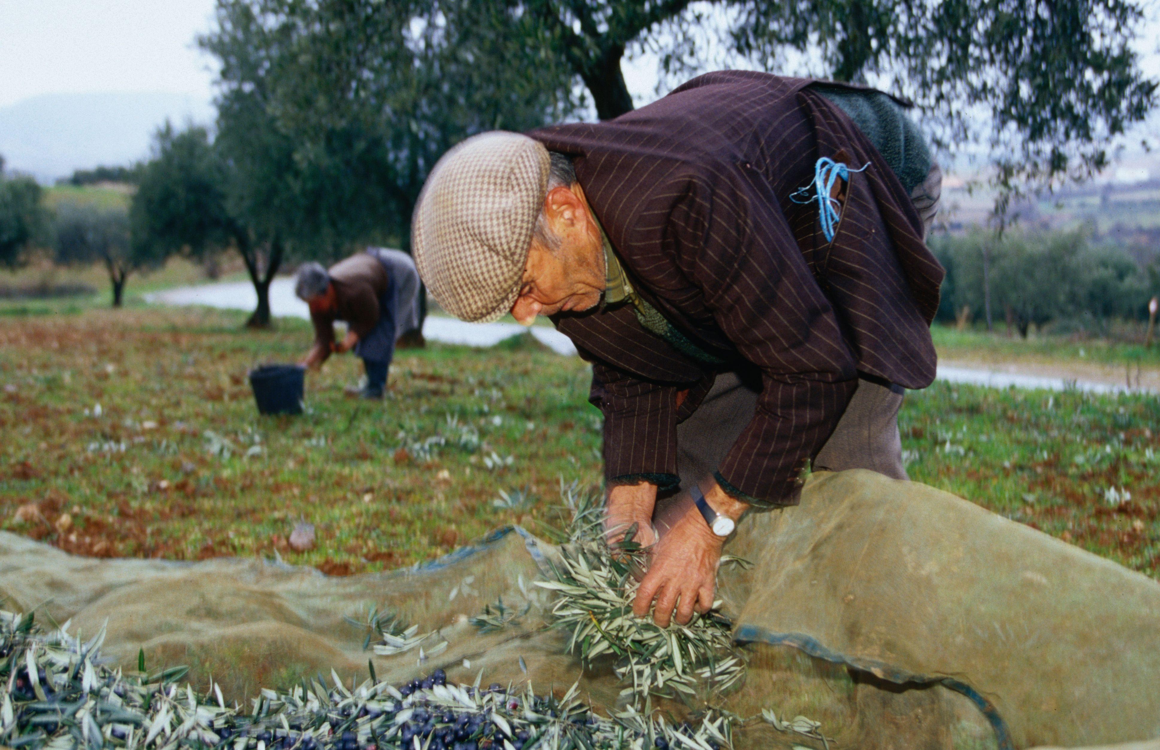 Olive harvest, Douro Valley