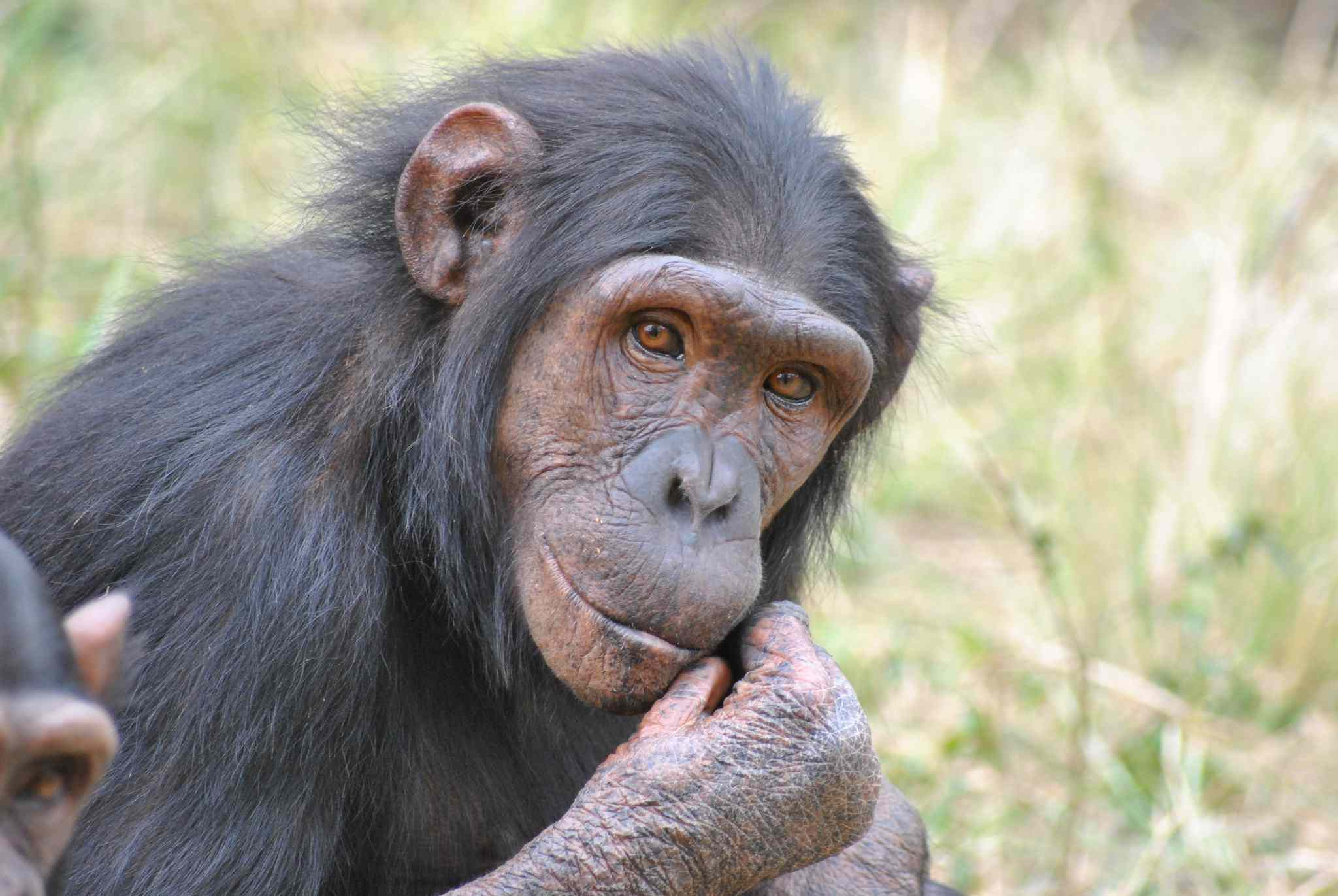 Chimpanzee looking at the camera in Chimp Eden in South Africa