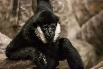 A monkey at Brookfield Zoo