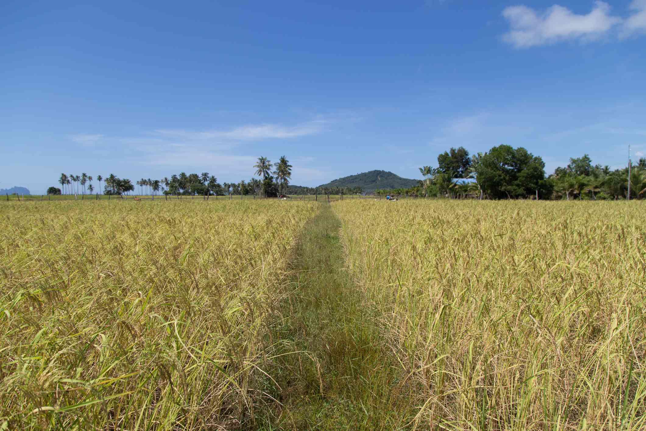 Rice field at Koh Sukorn island