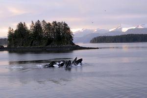 Feeding humpback whales in Alaska