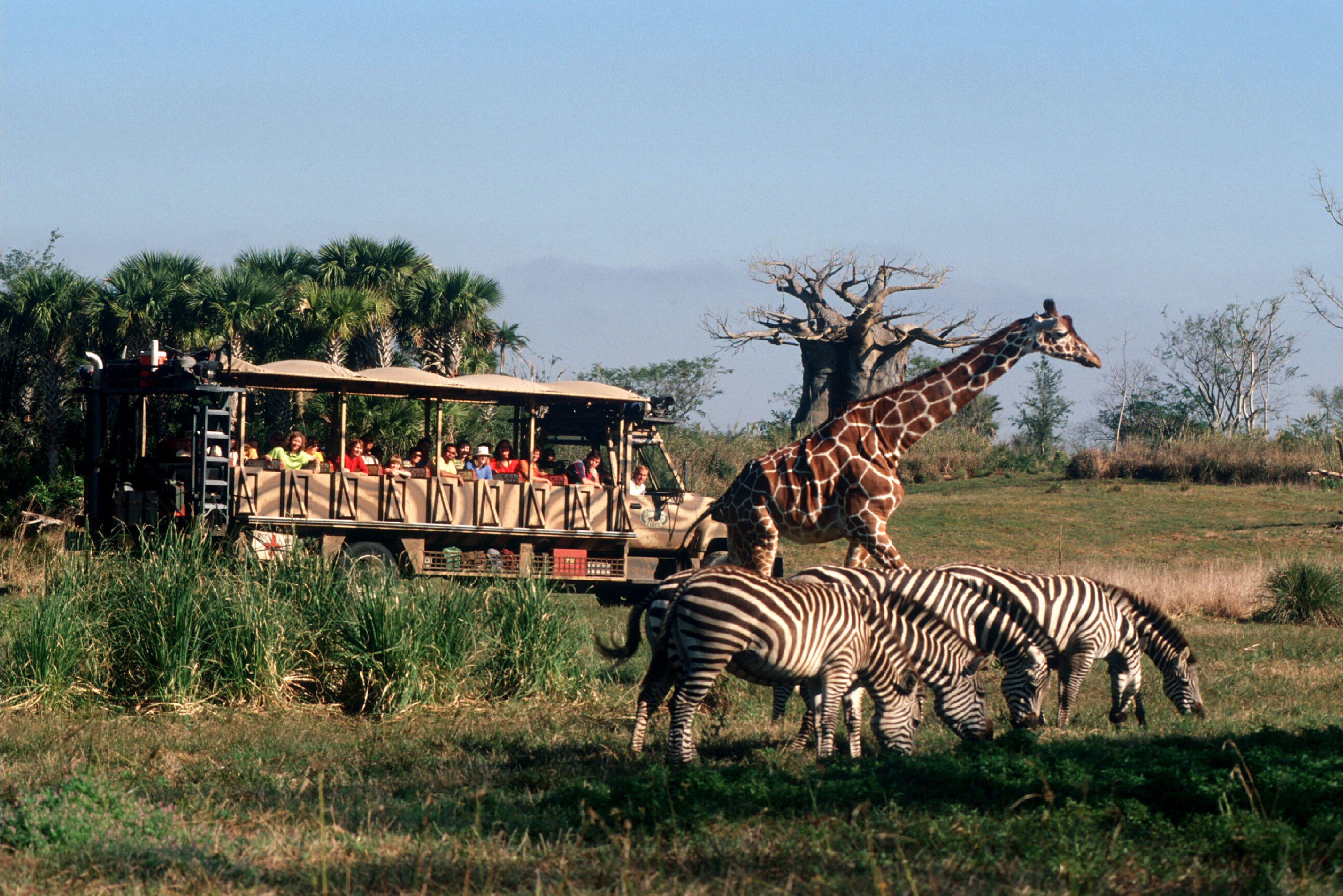 Kilamanjaro Safari vehicle loaded with Disney World guests observing giraffe and zebras.