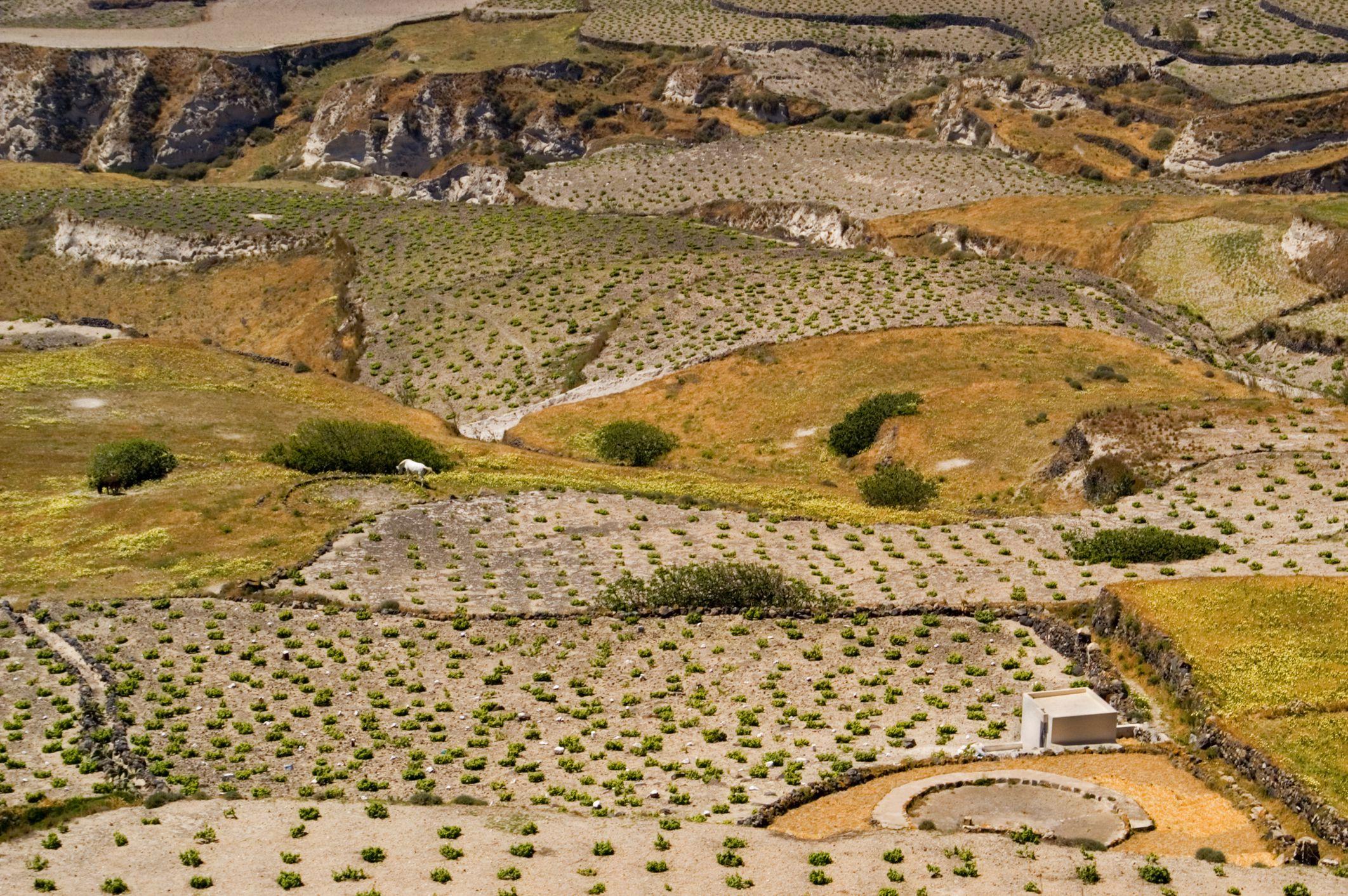 Vineyards near Pyrgos.