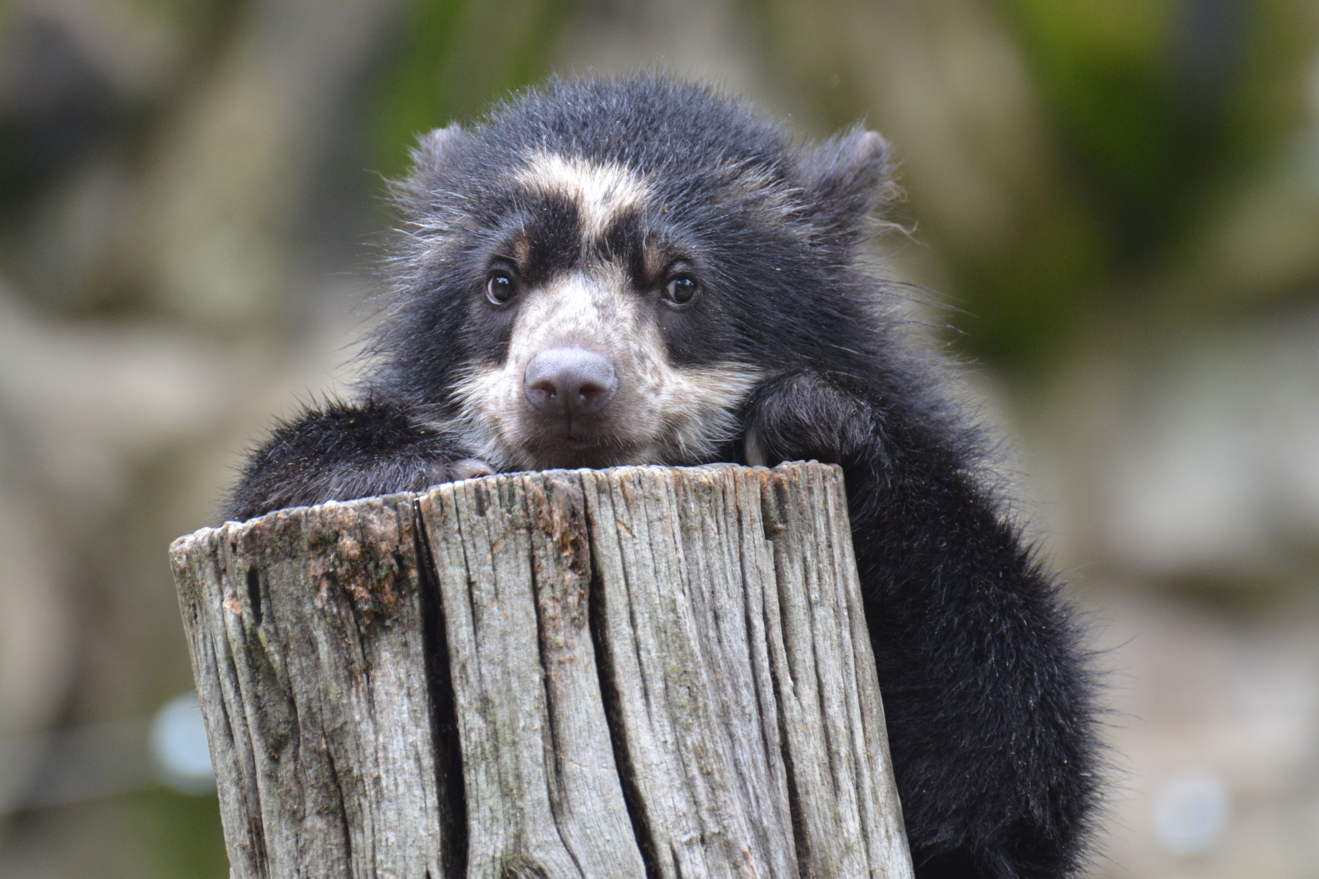 Andean bear at Smithsonian National Zoo