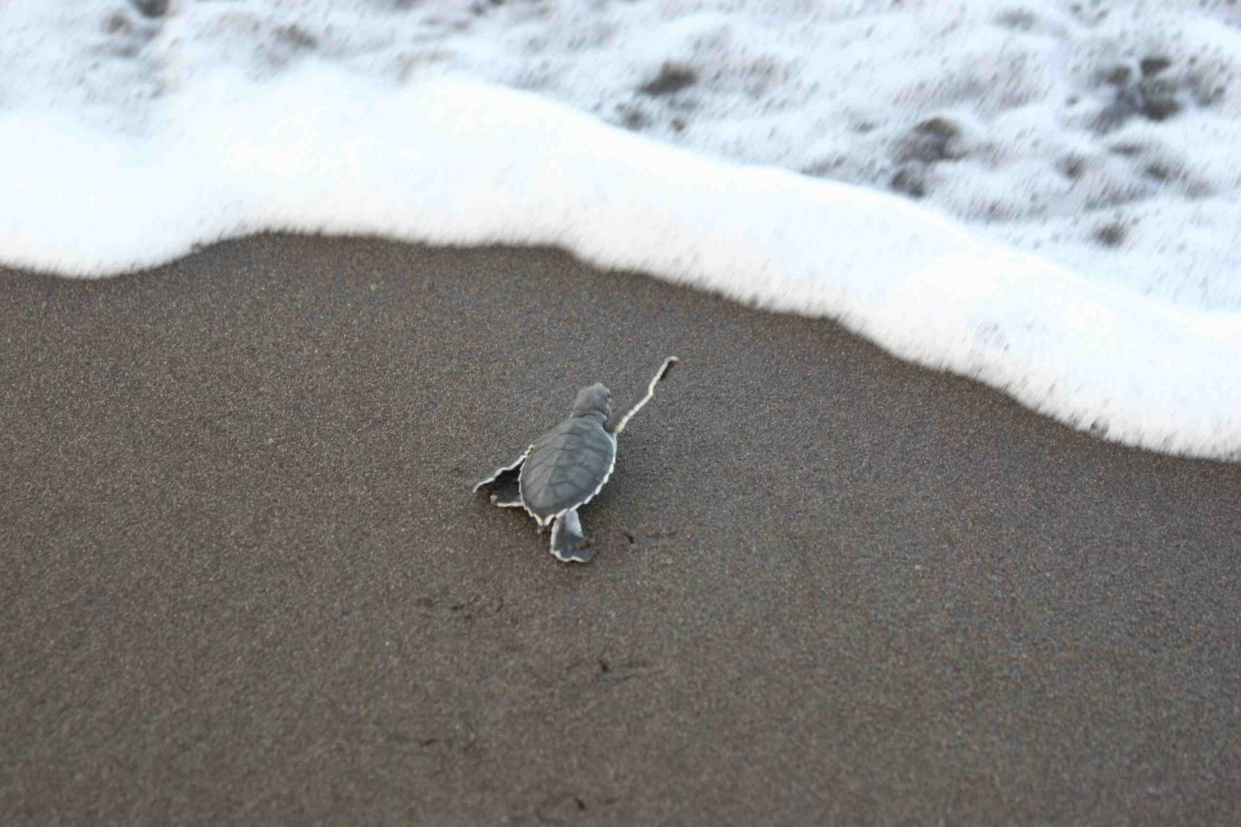 Sea gray Turtle