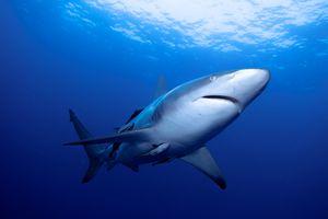 Oceanic blacktip shark, Aliwal Shoal, South Africa