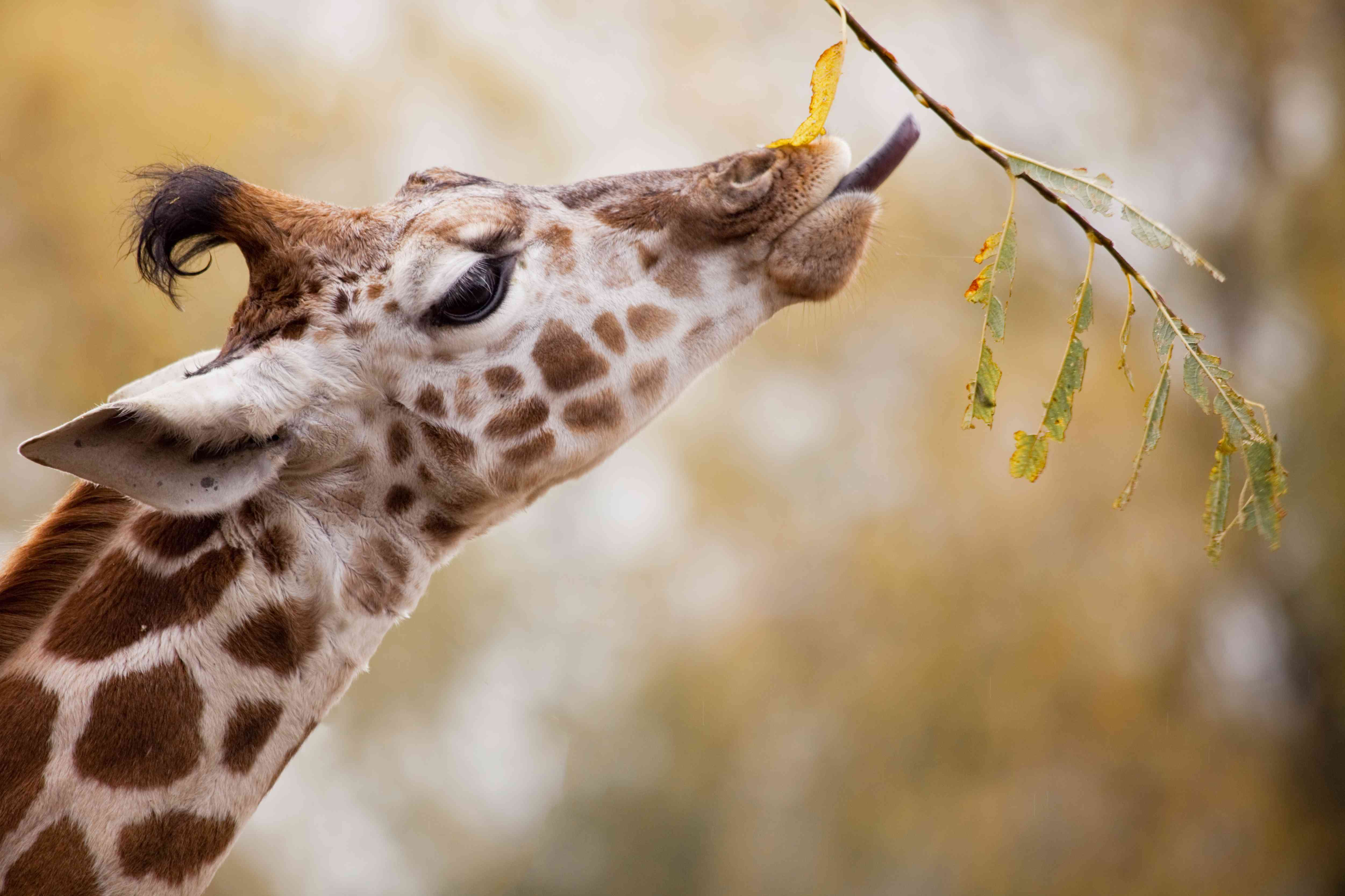 A giraffe eating a leaf at a zoo in Cheshire, England.