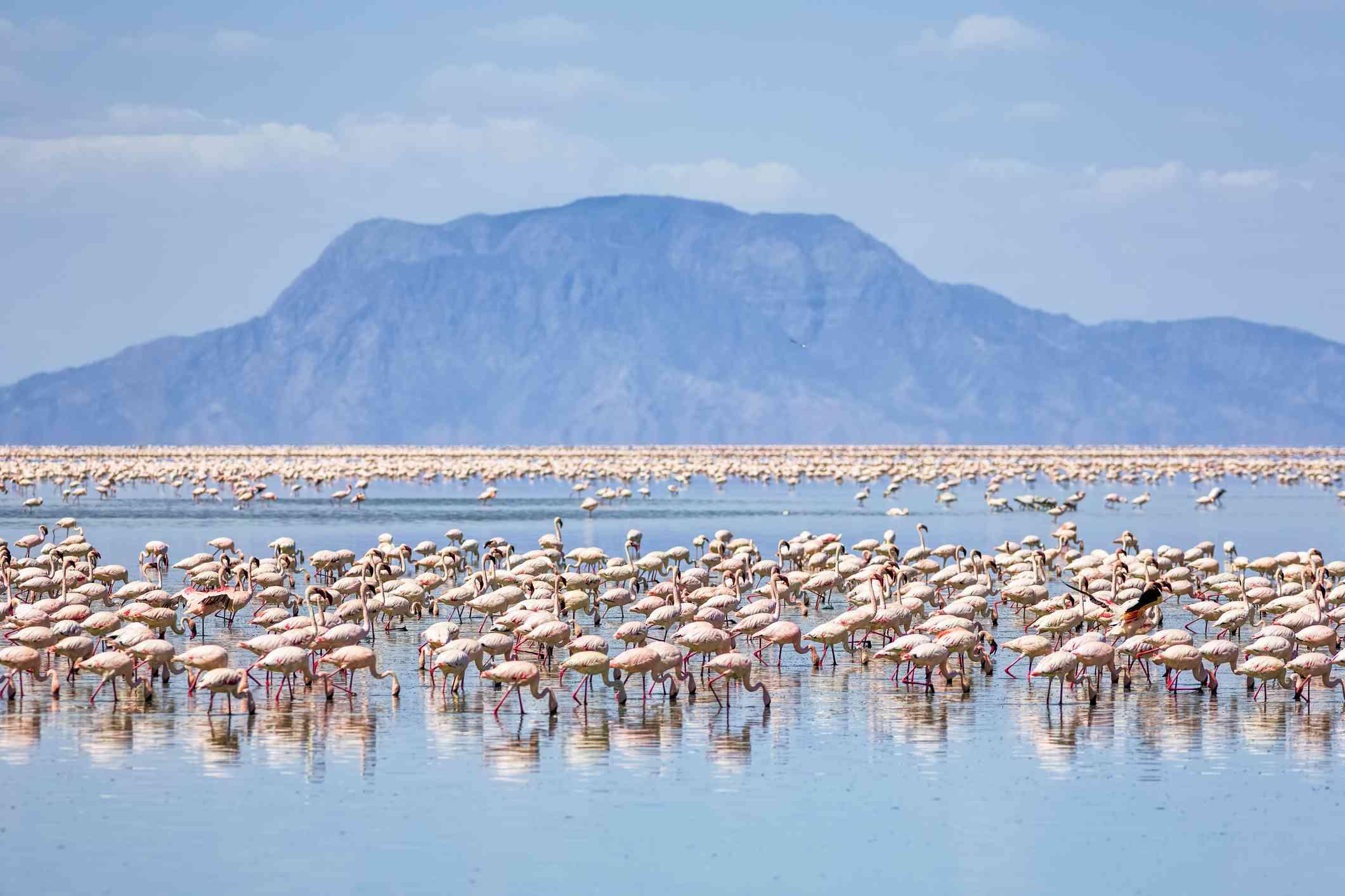 Lesser flamingo flock at Lake Natron, Tanzania