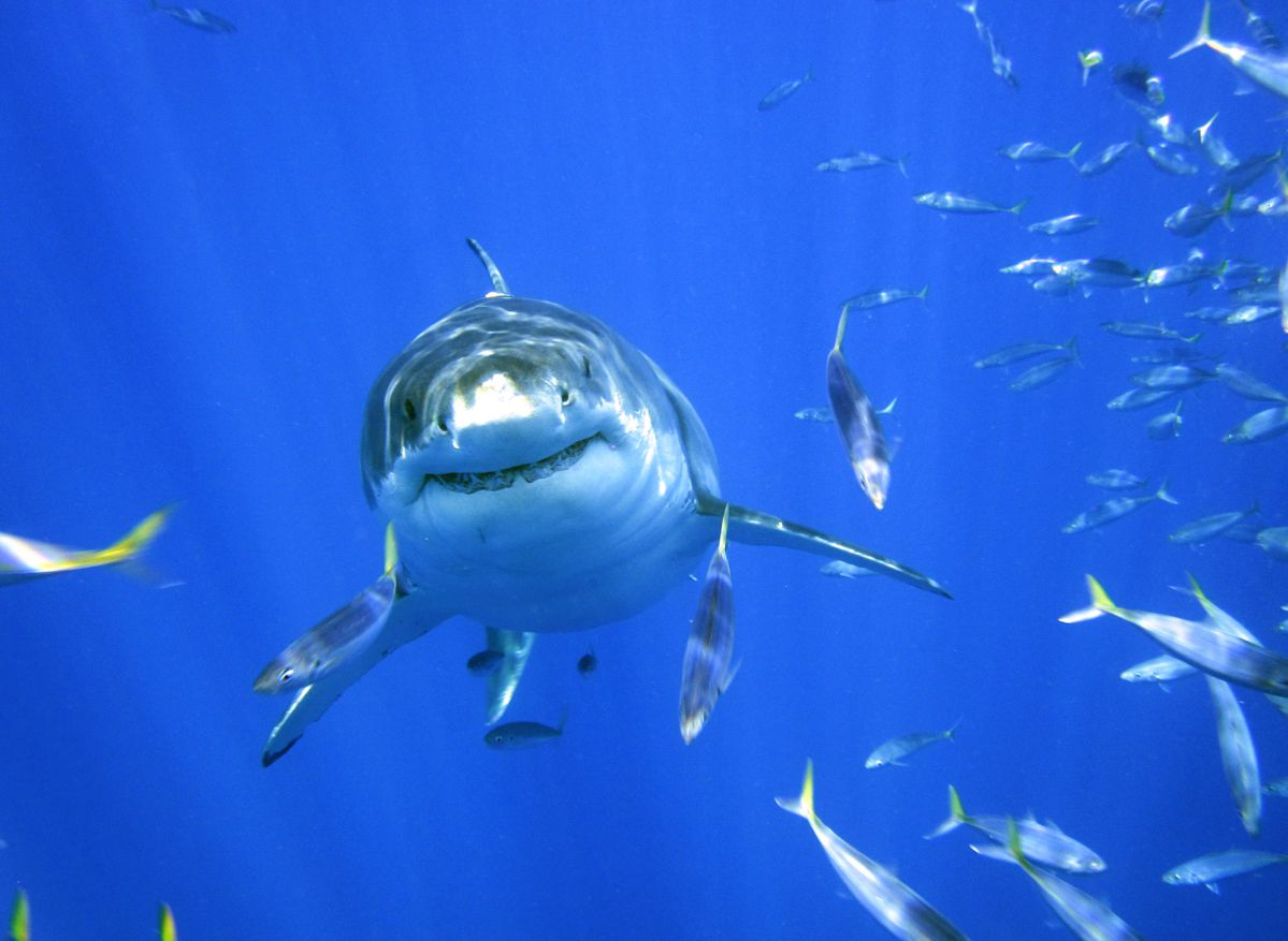 A shark swimming towards the camera with a ton of fish around the shark