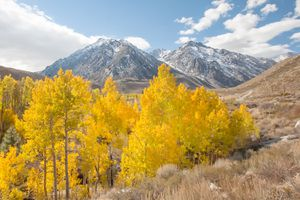 Aspen Trees and the Sierras, California