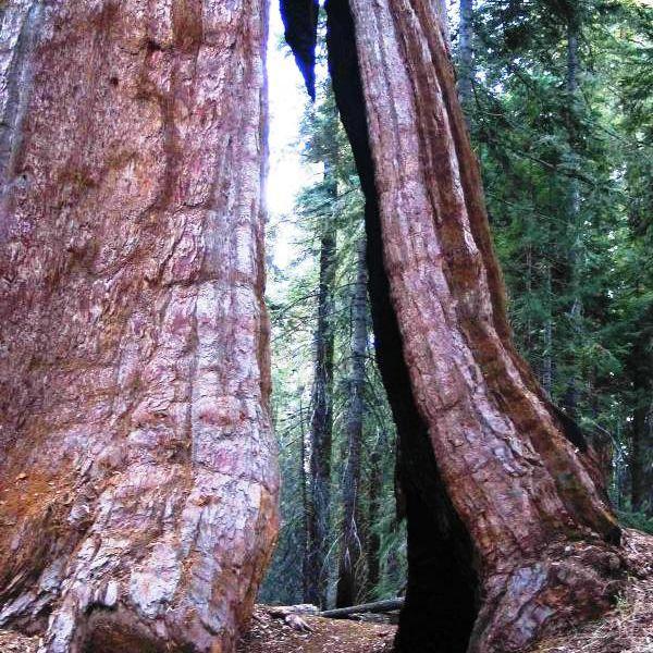 SequoiaNP.jpg