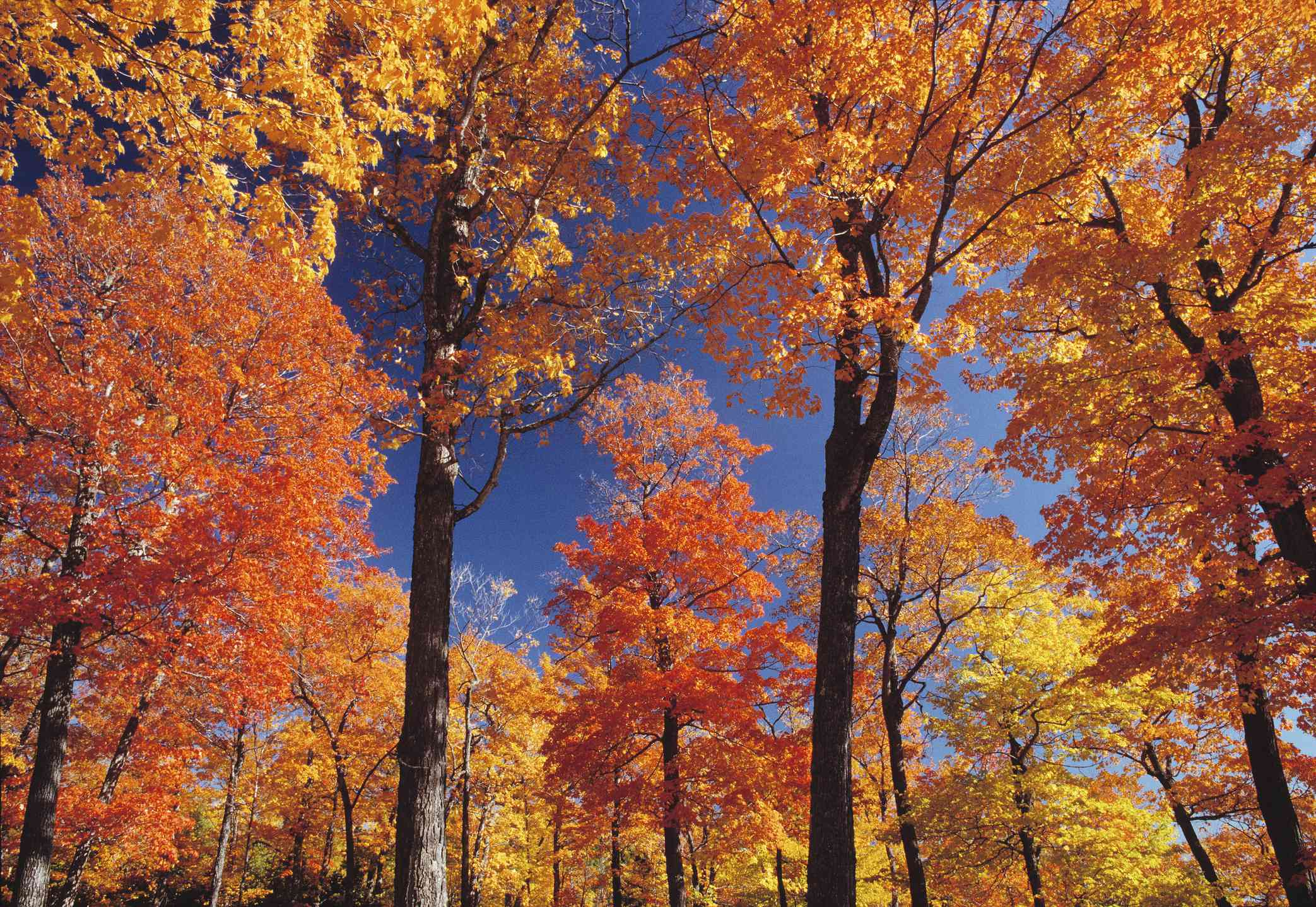 Deciduous forest in autumn in Charlevoix region