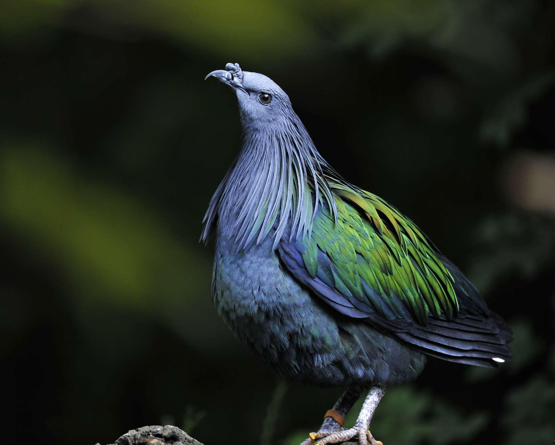 Faisán pavo real de Palawan (Polyplectron napoleonis)