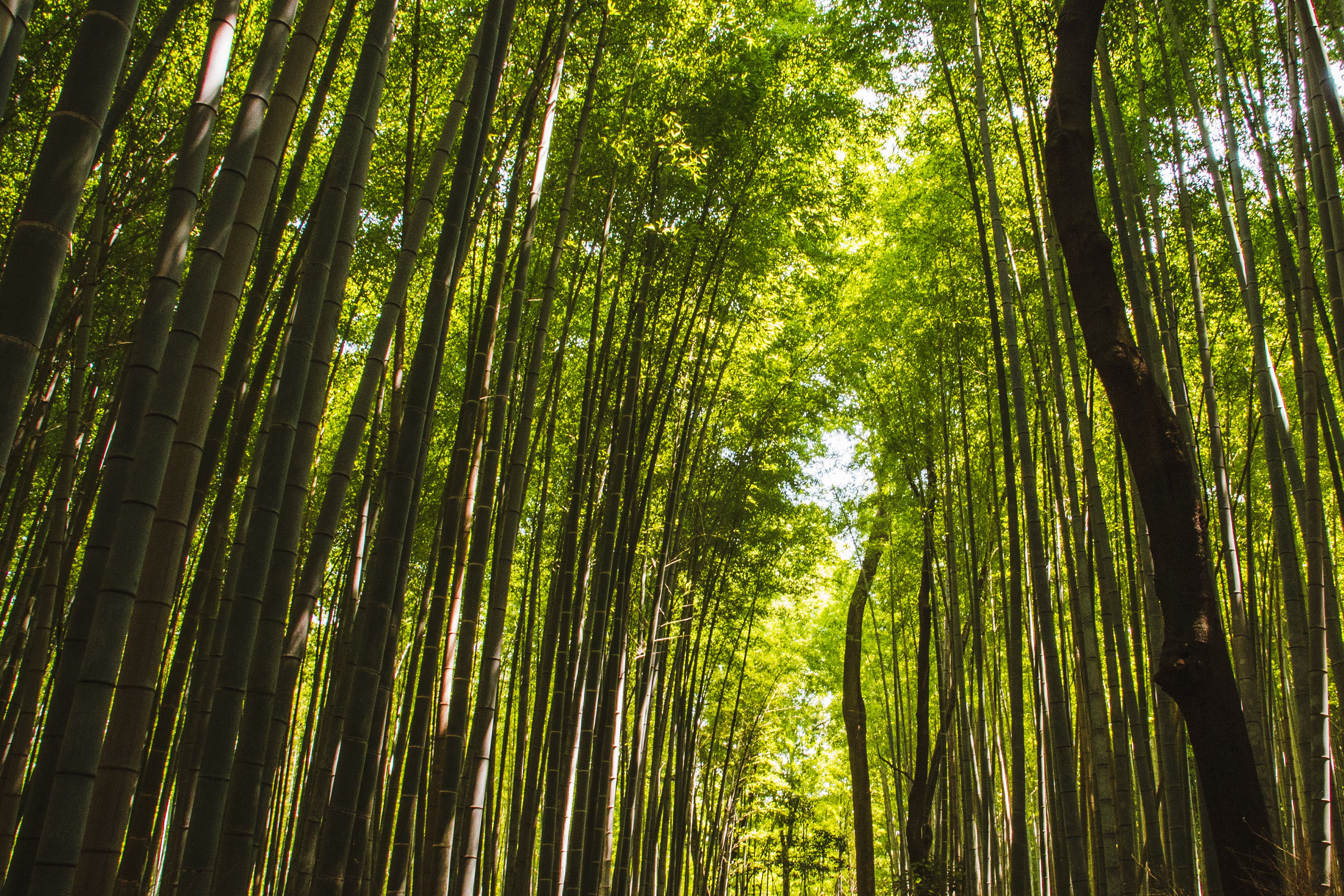Kyoto's Bamboo Forest: The Complete Guide