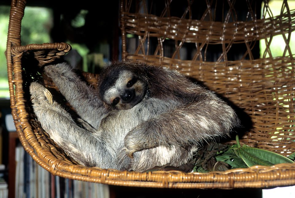 Rescued Three Toed Sloth Relaxing