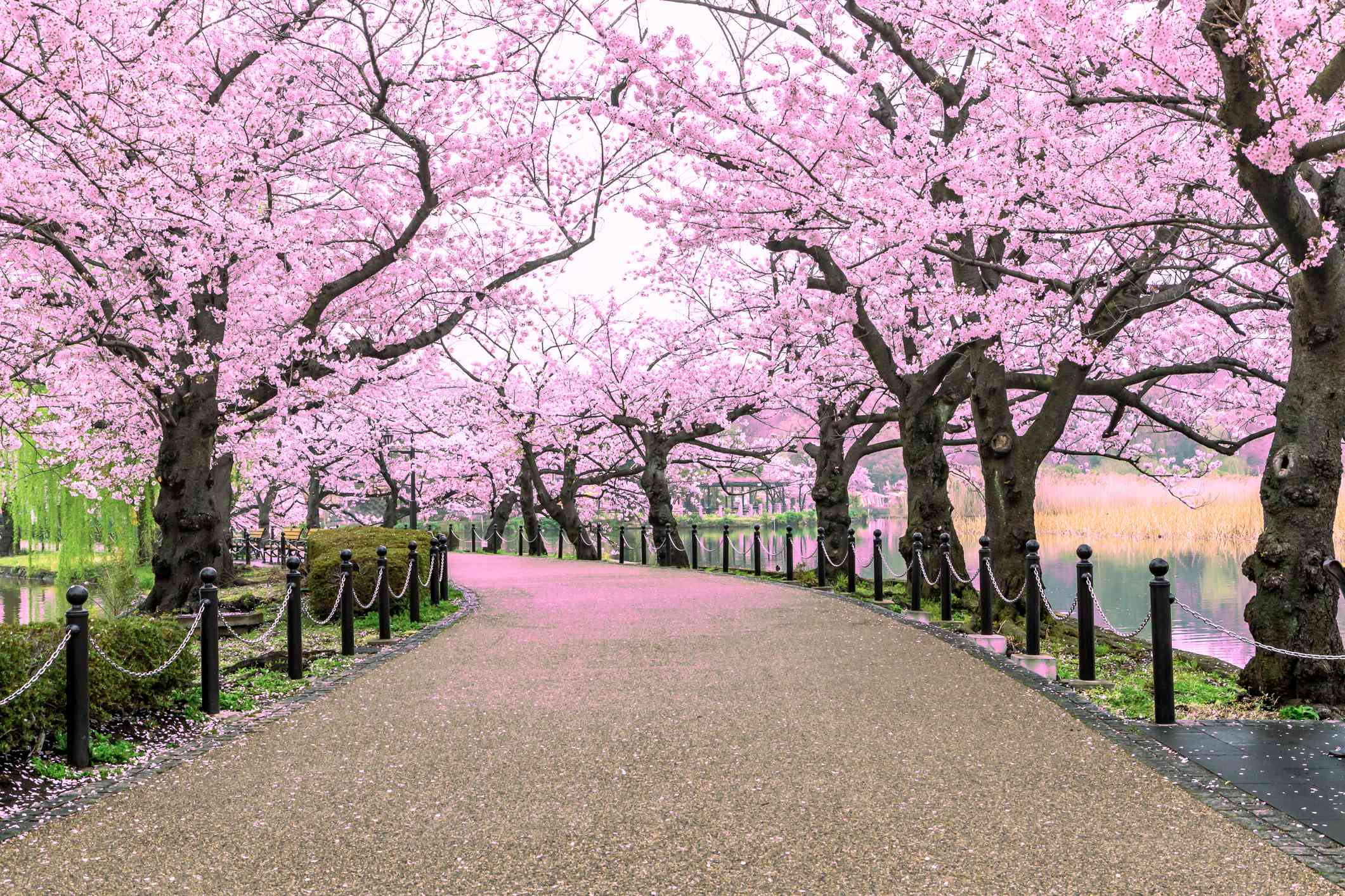 Walking path under a series of cherry blossoms in full bloom with petals on the pathway in Ueno Park, Tokyo