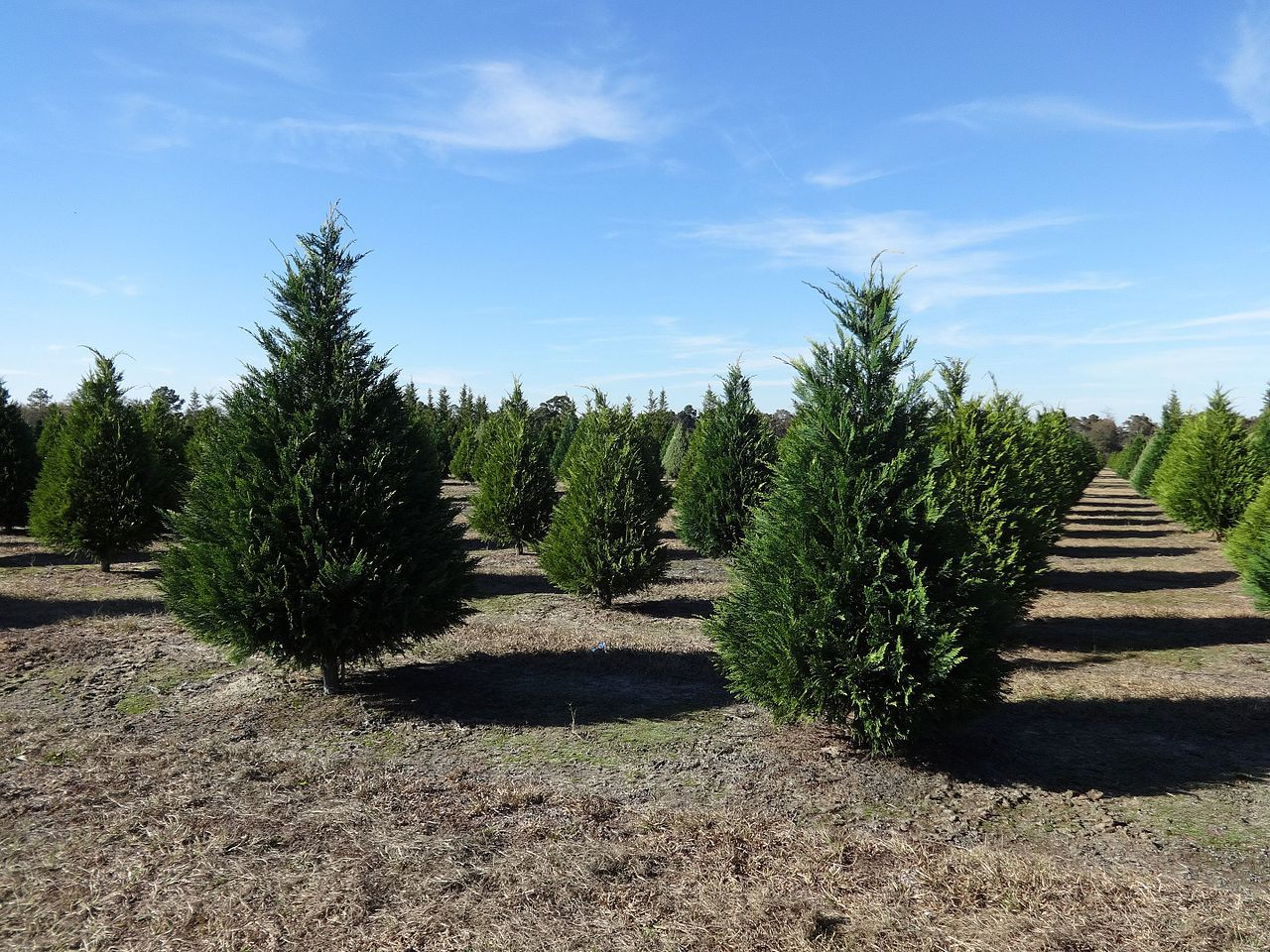 Traditional Christmas Tree Farms in Sonoma County