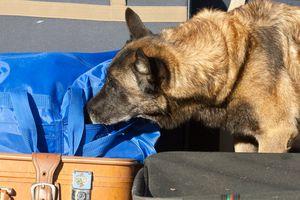 dog sniffing luggage