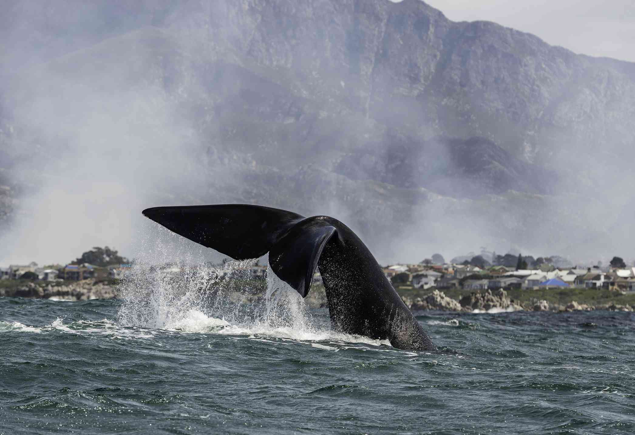 Southern right whale tail slapping at the water's surface as fires burn in the township in the background due to civil unrest, near Hermanus, South Africa.