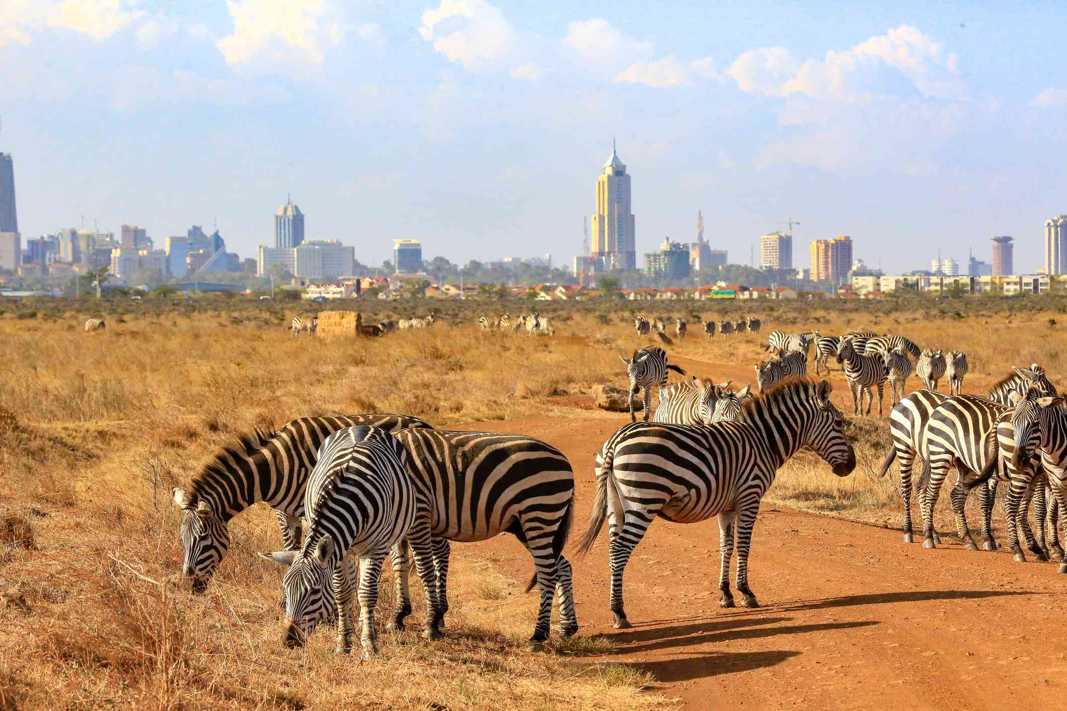 A herd of zebras in Nairobi National Park, Kenya