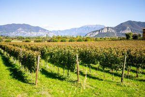 Vineyards at Guido Berlucchi Winery in Franciacorta, Italy