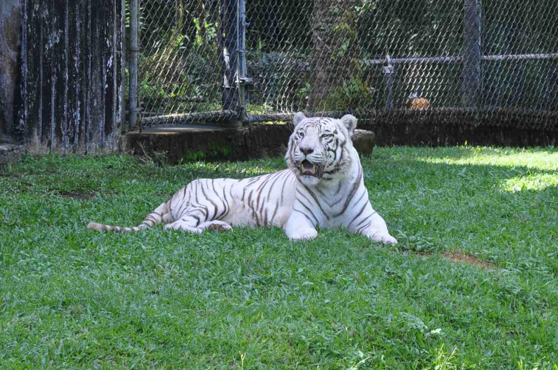 White Bengal Tiger named Namaste at the Panaewa Rainforest Zoo