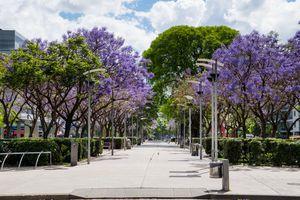 jacaranda trees in Puerto Madero