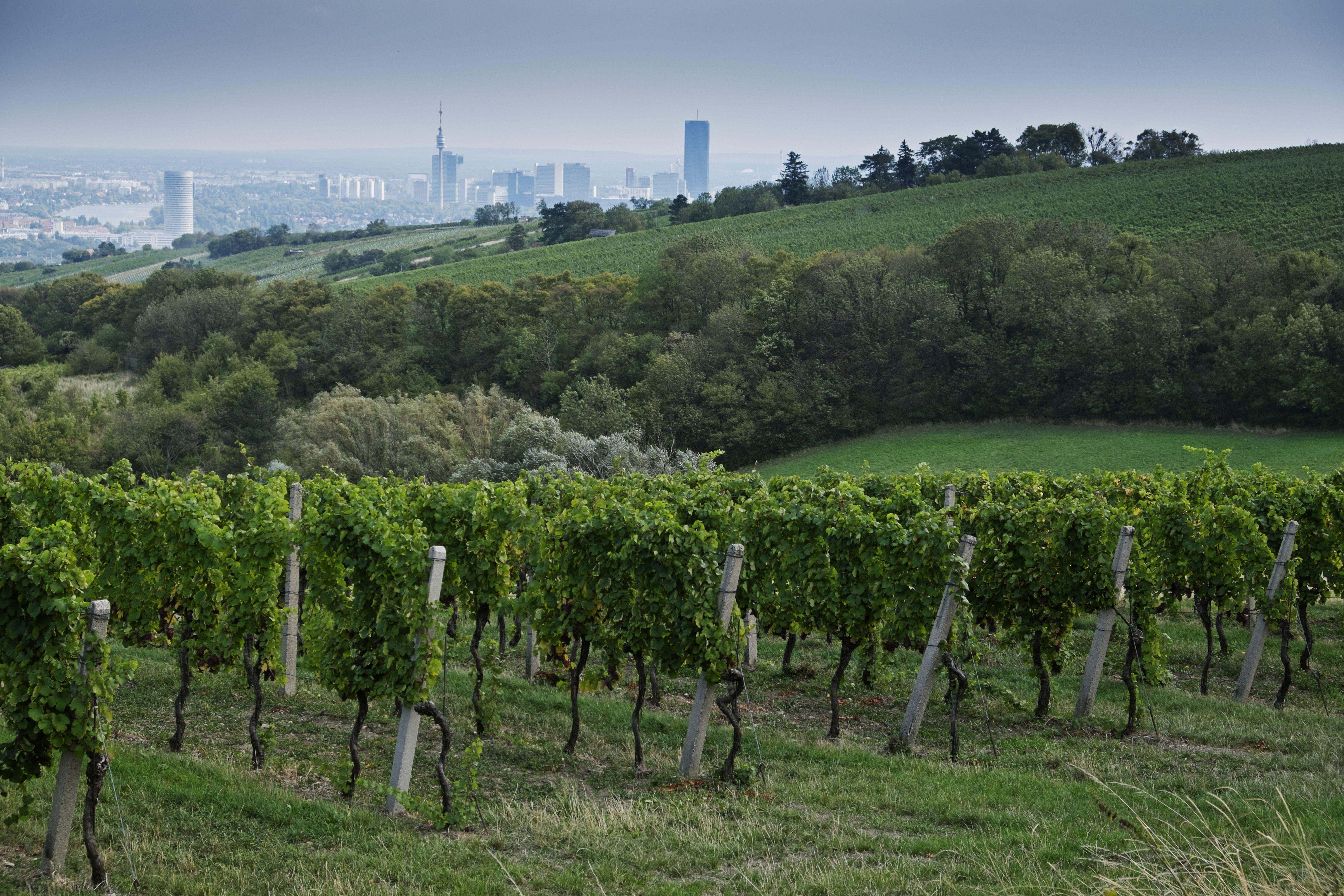 Vineyard with City in the Background near Grinzing, Vienna, Austria