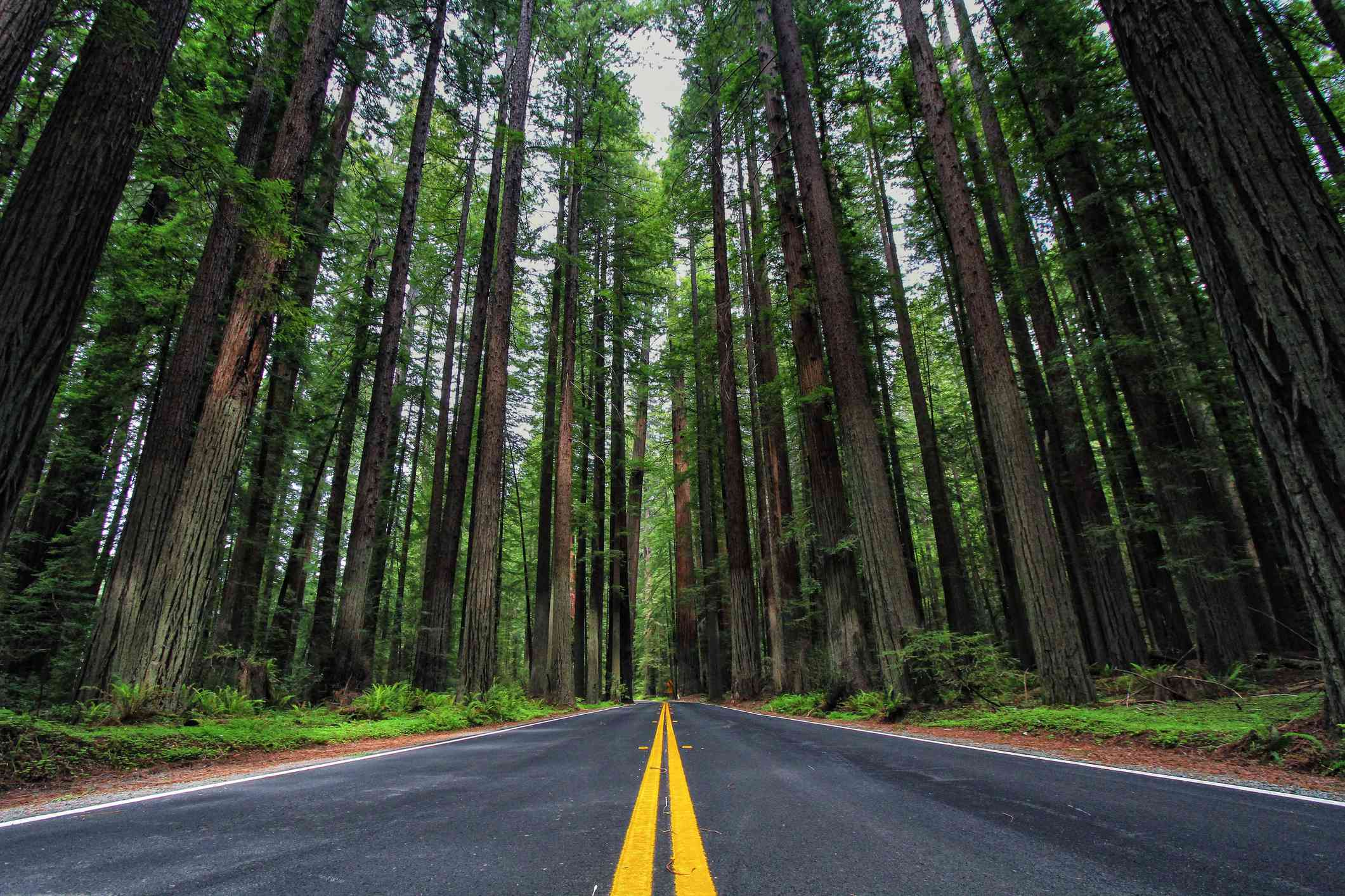 Road and redwoods (Sequoioideae) in Avenue of the Giants, California, USA