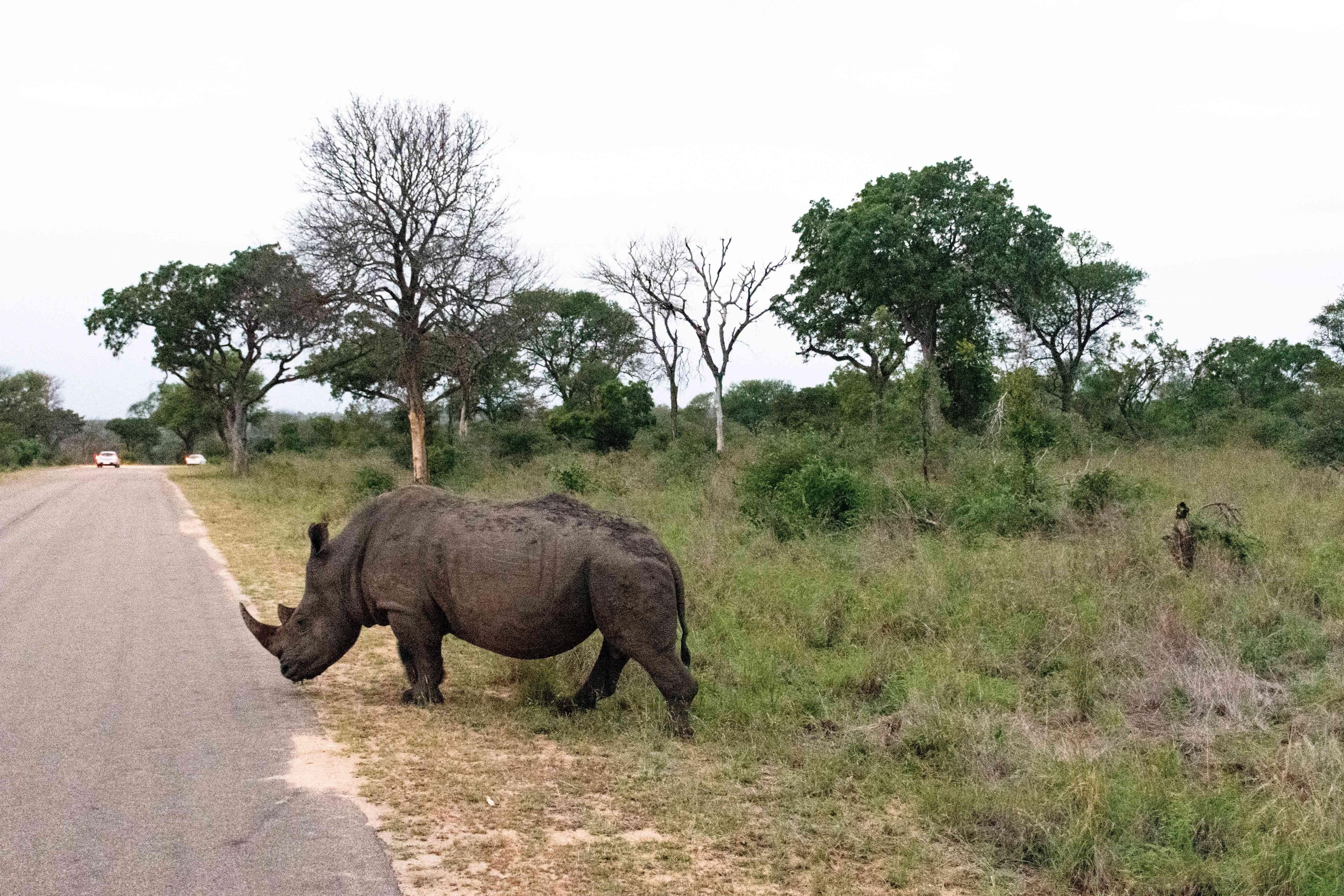 Un rinoceronte cruzando un sendero en el Parque Nacional Kruger