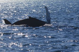 Humpback Whale in Maine