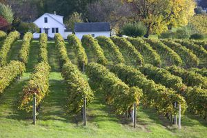 Rows of grapevines at a vineyard in Augusta, Missouri