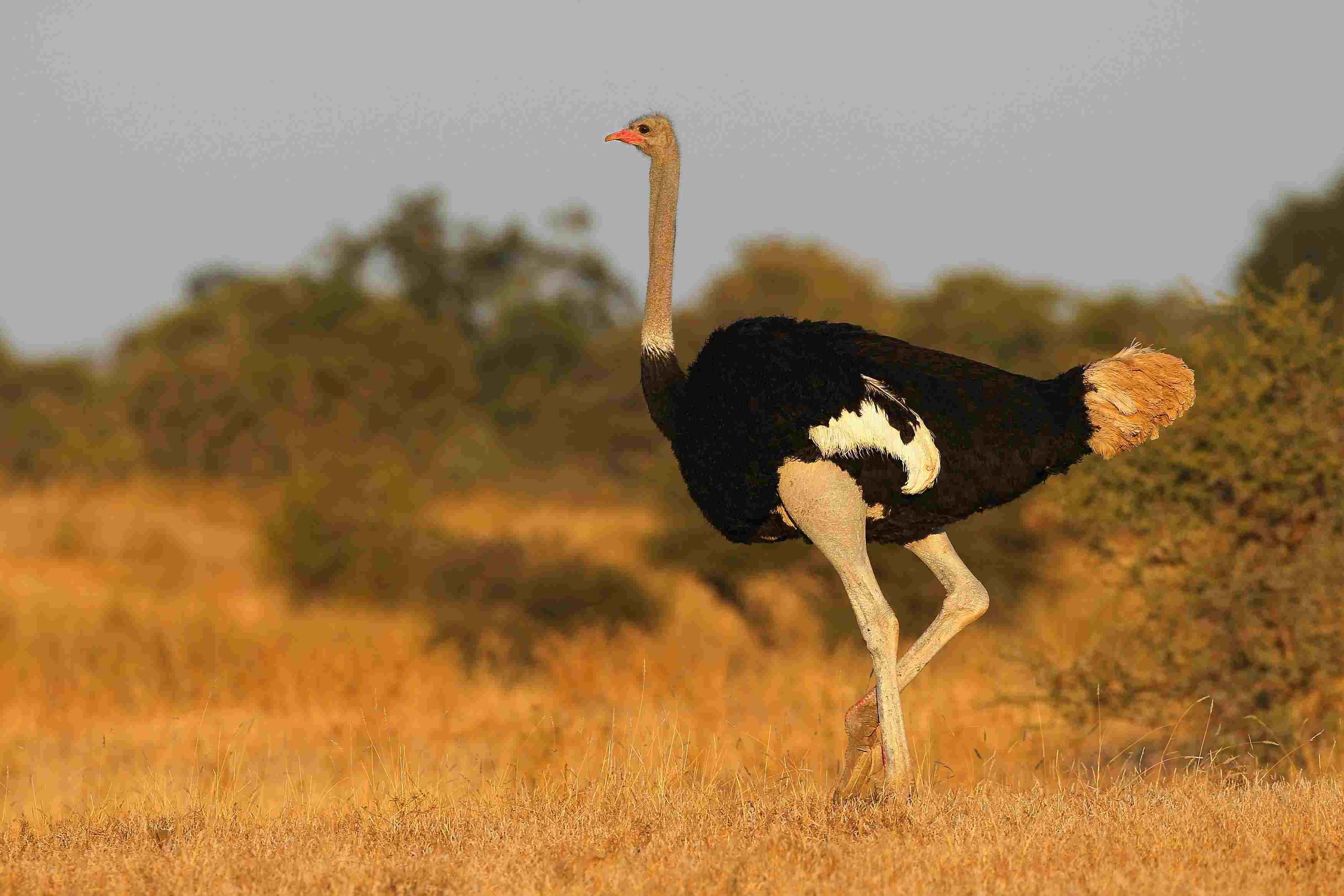 Ostrich in Mashatu Game Reserve, Botswana