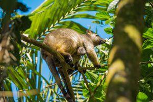 Bennett's Tree Kangaroo with baby