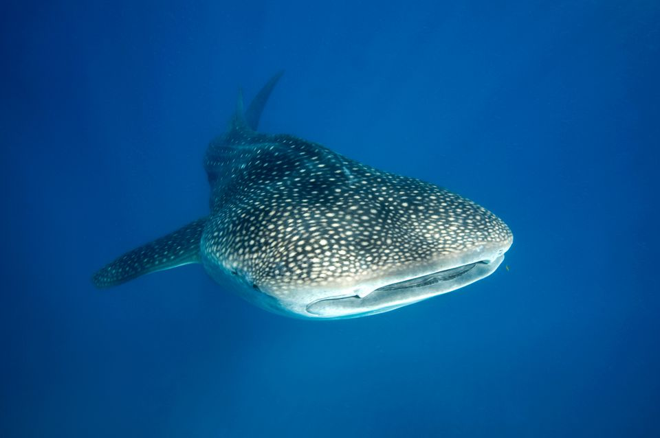 Whale shark swimming off Tofo Beach, Mozambique