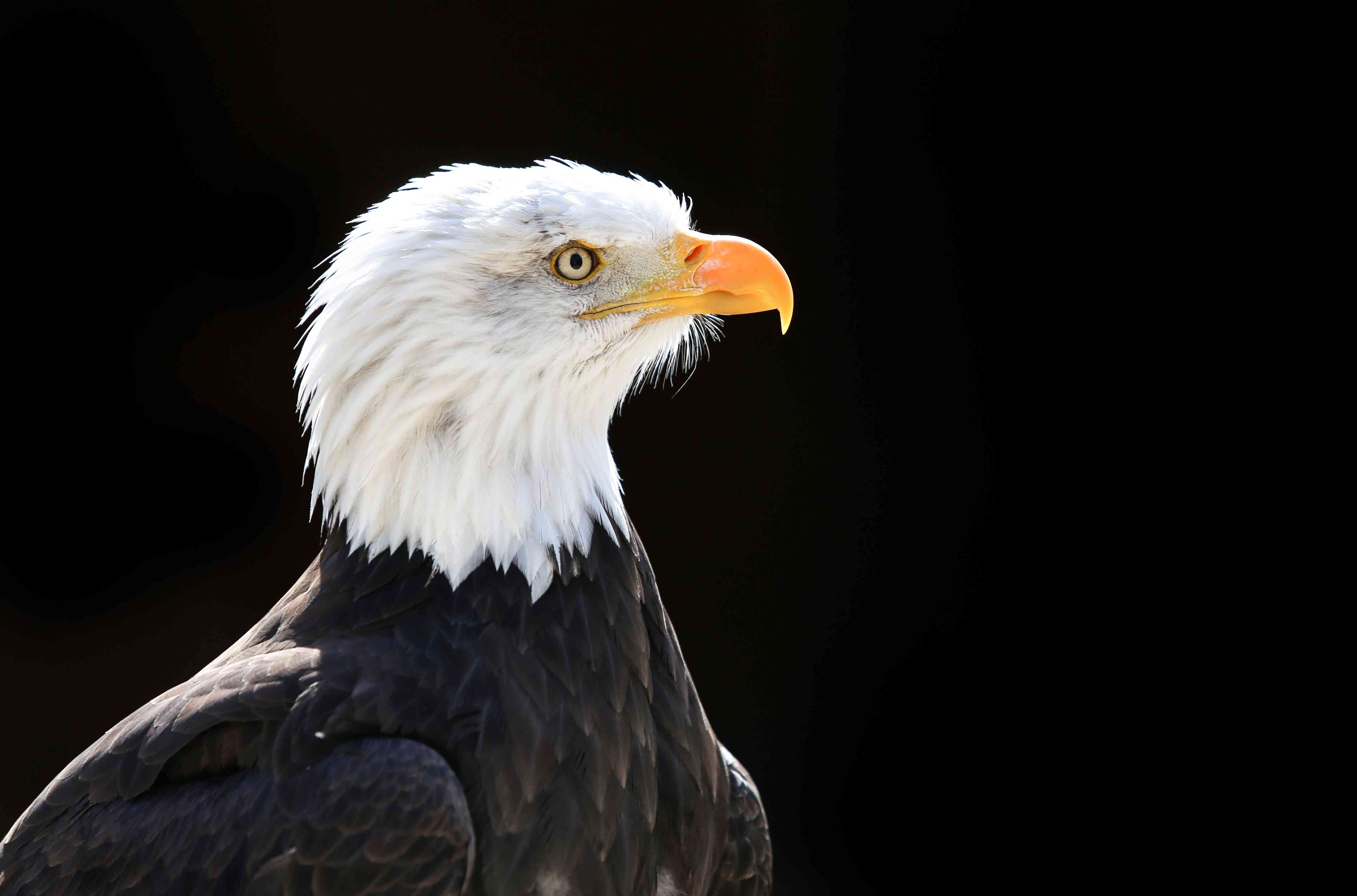 Photo of the head of a Bald Eagle