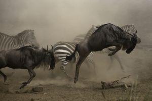 Wildebeest and Zebra on the move