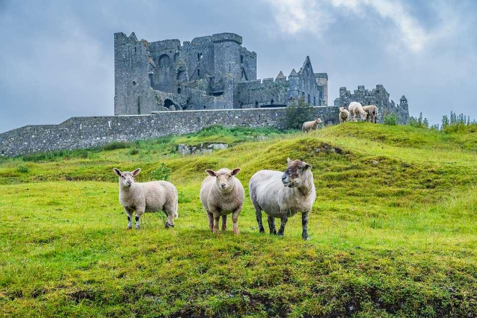 Ovejas en la roca de Cashel Irlanda