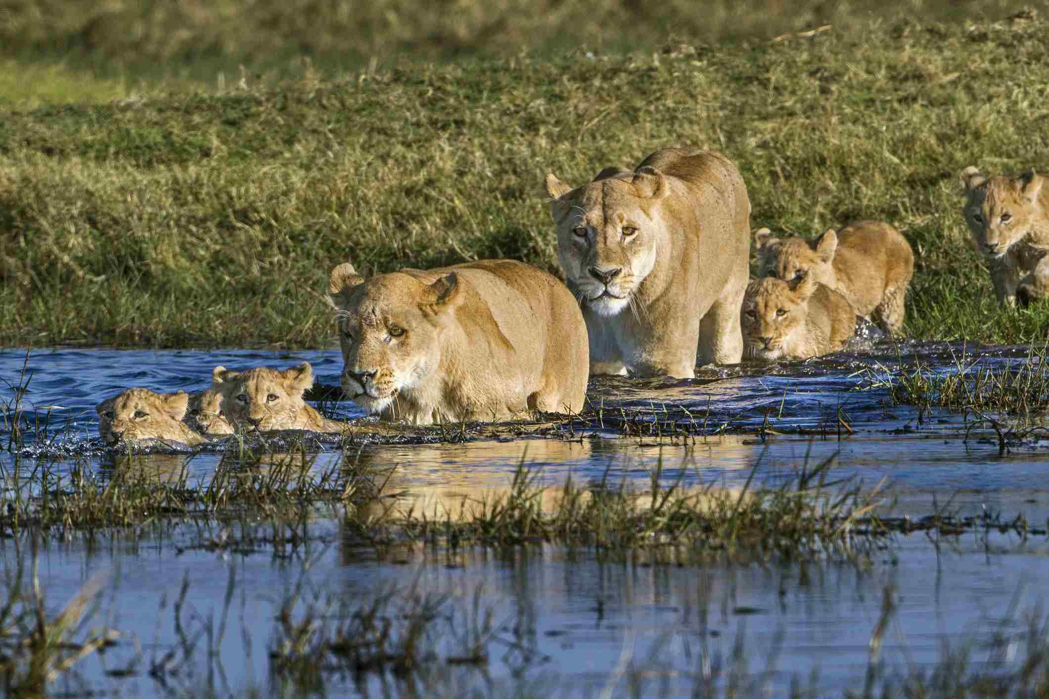 Lionesses herding cubs across the water in the Okavango Delta