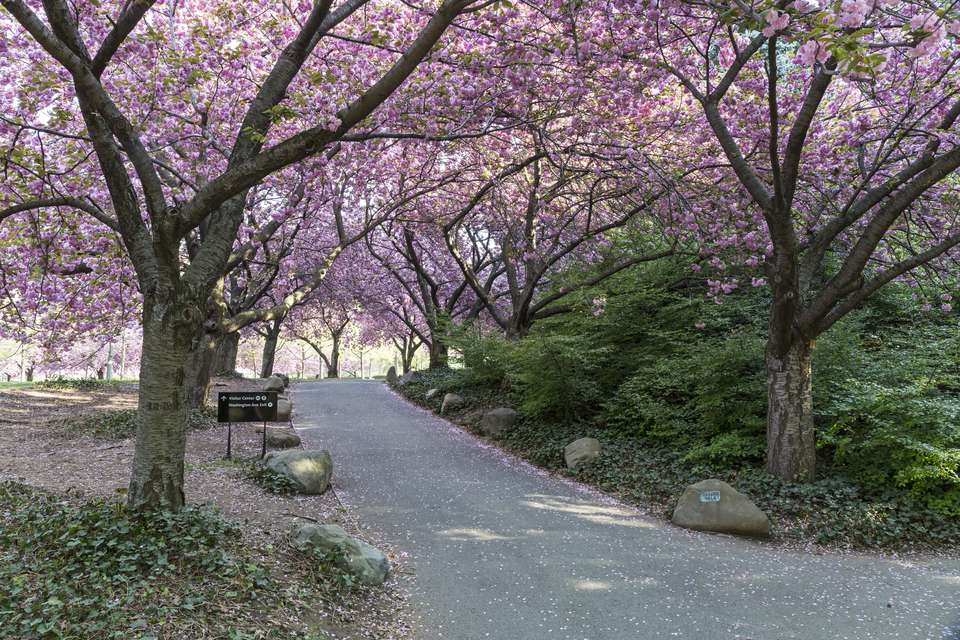 The Cherry Walk in the Brooklyn Botanic Gardens in full bloom in Brooklyn, New York