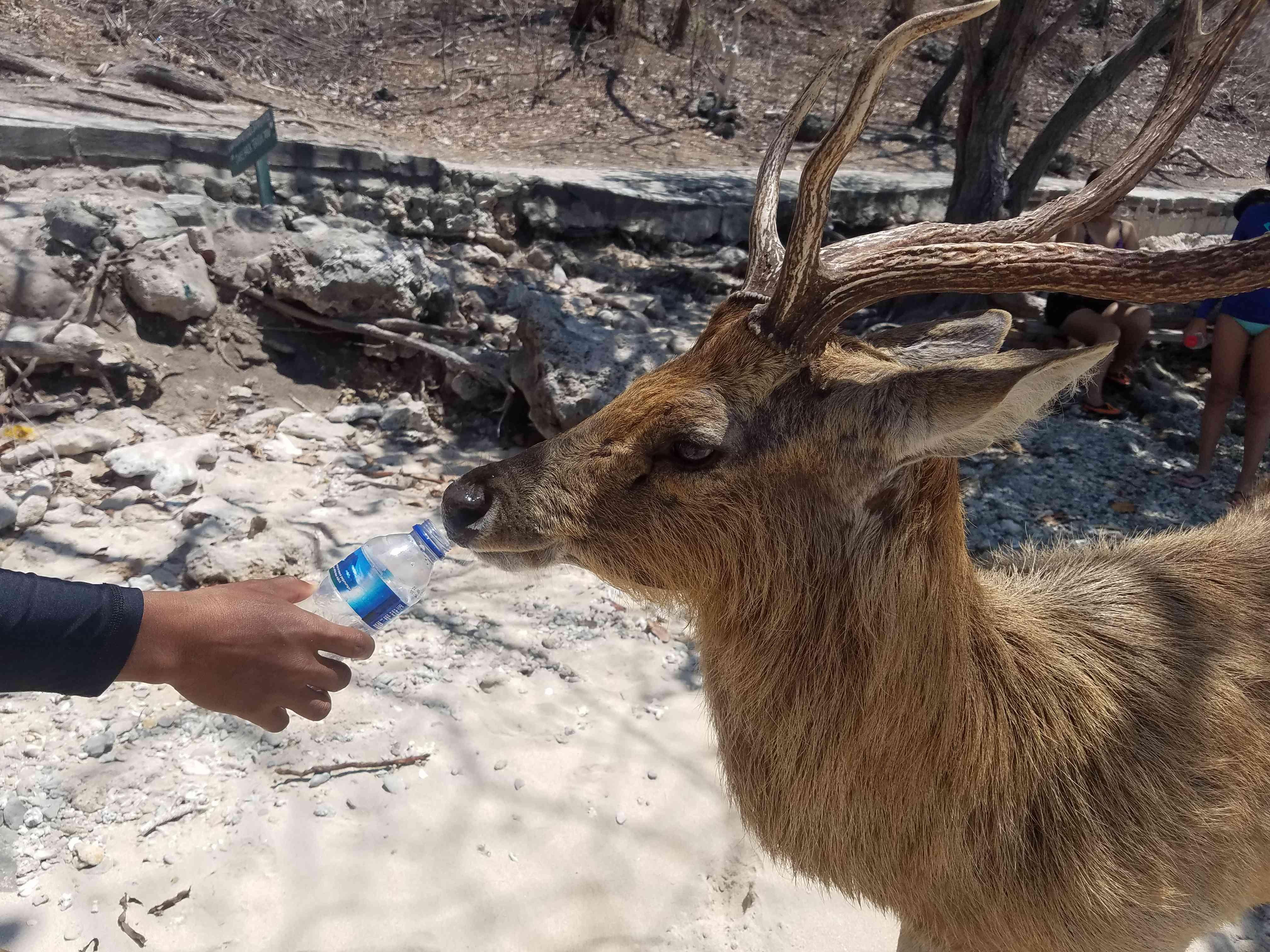 Deer drinking water on Manjangan Island, Bali