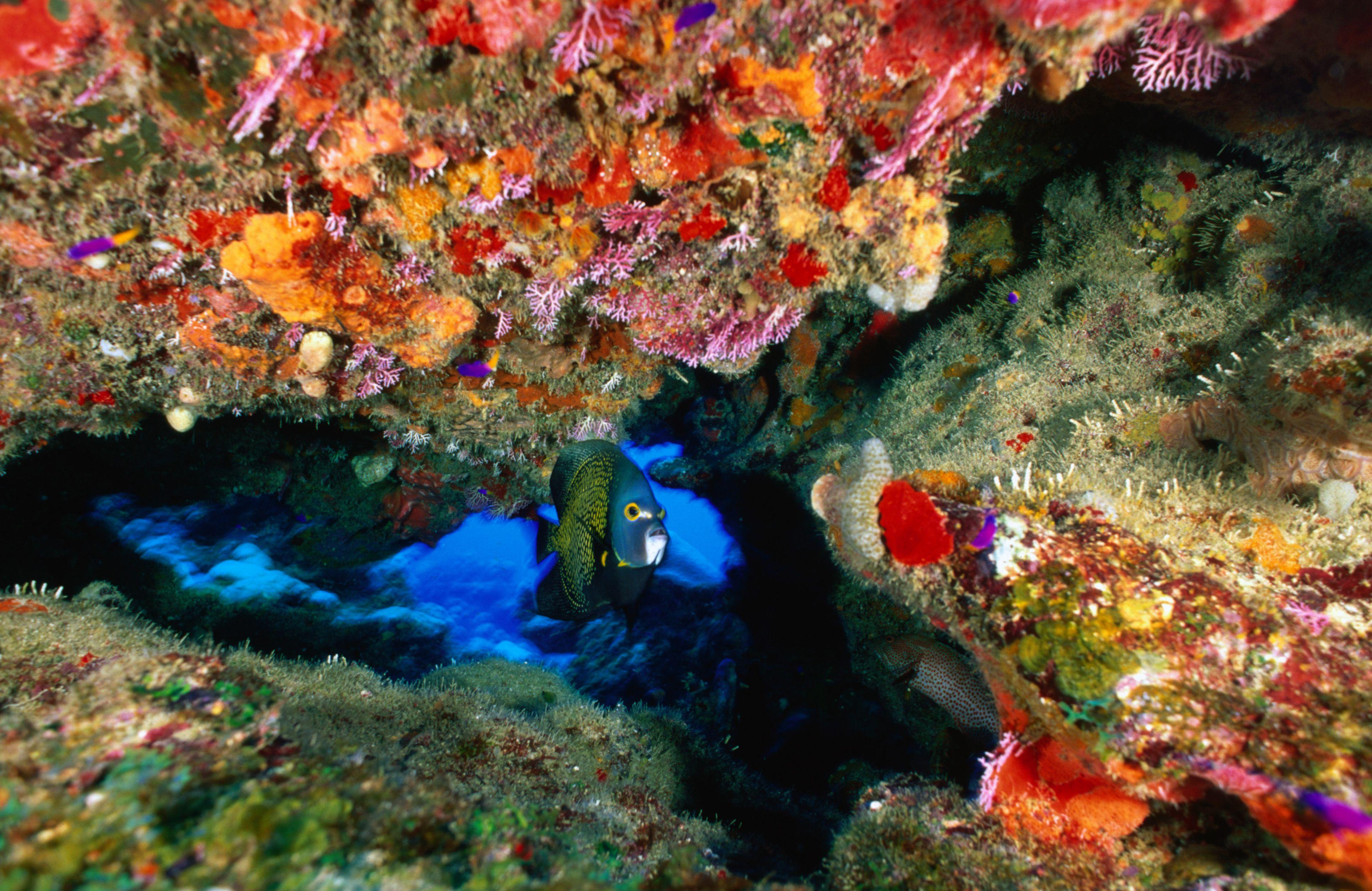 Angelfish at Buck Reef, St. Croix, USVI